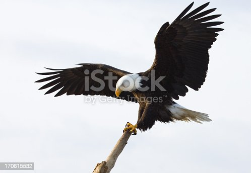 Landing on a perching stick, white background.