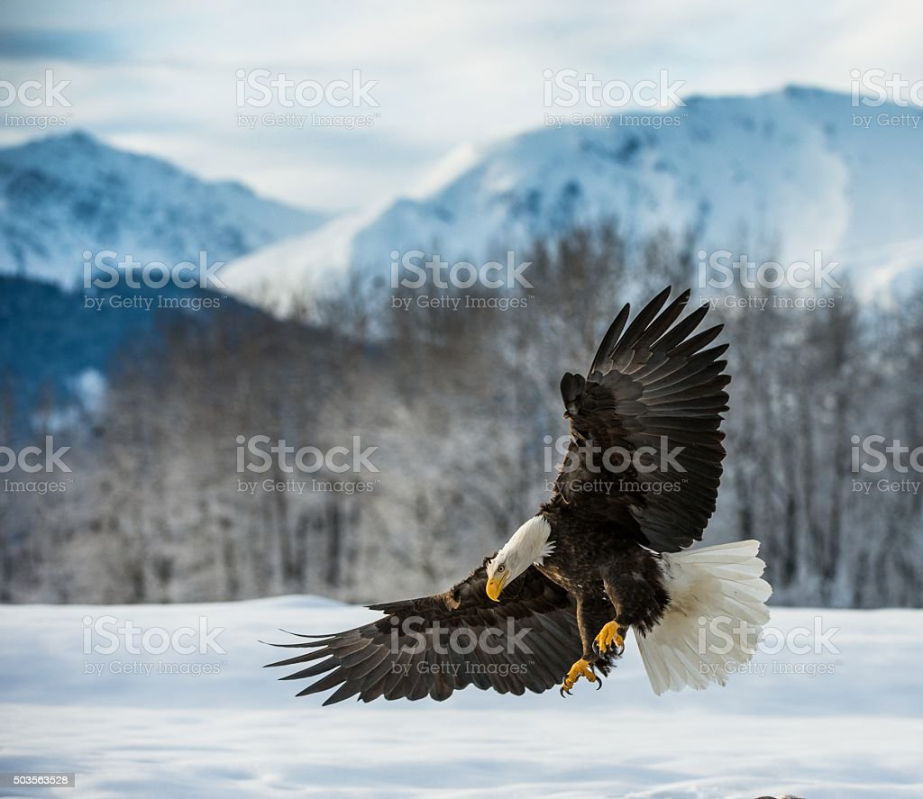 Bald Eagle landed on snow bildbanksfoto