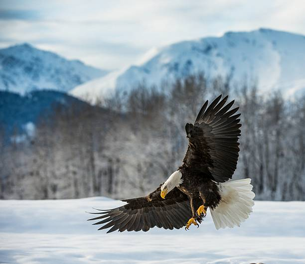 bald eagle atterri sur la neige - faune sauvage photos et images de collection