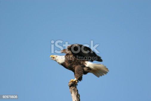 istock Bald Eagle Landing 2 92975605