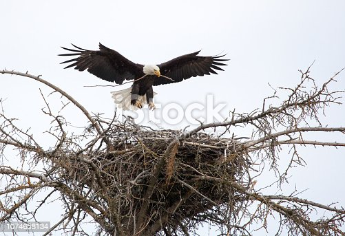 With outstretched wings and a twig in its beak, a bald eagle lands on a large nest in a treetop on Kenai Peninsula, Alaska.