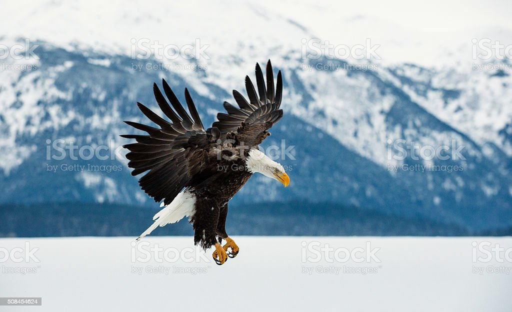 Bald Eagle landing on snow stock photo