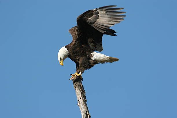 Bald Eagle Landing stock photo
