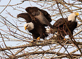 A bald eagle lands on a bare branch and has its glorious wings half extended still and one talon slightly raised as it settles next to its partner