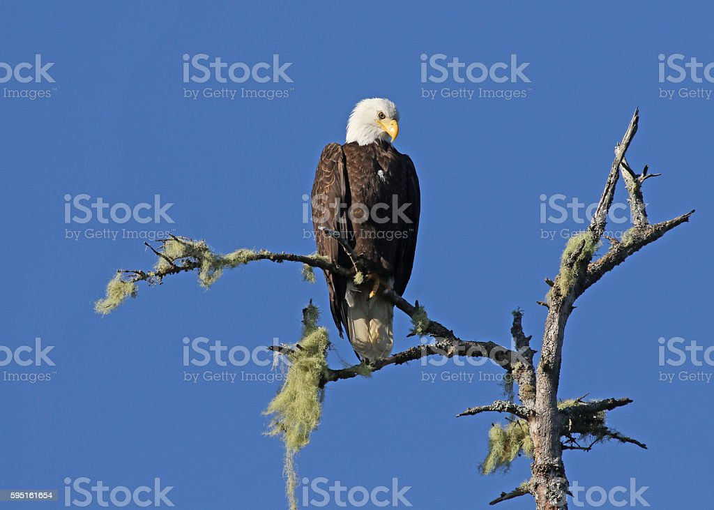 Bald Eagle Looking Down stock photo