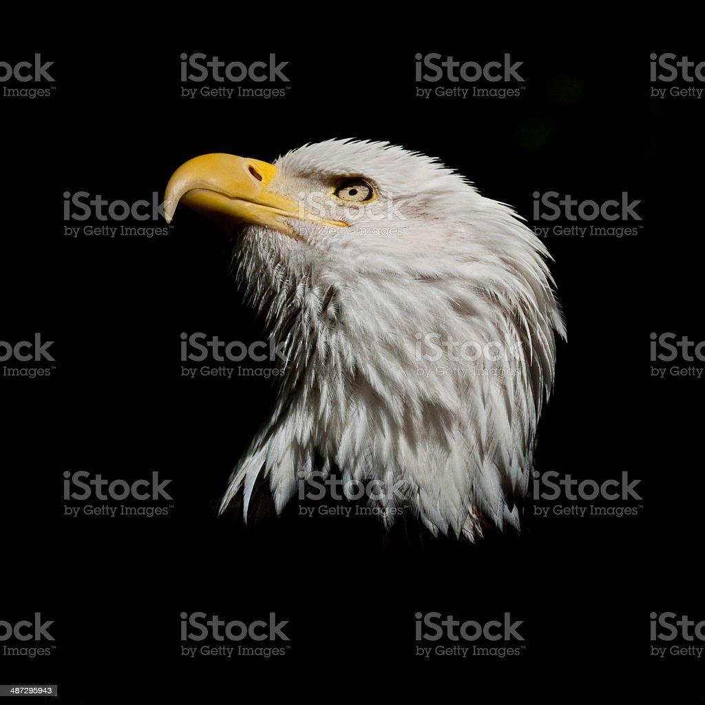 Bald Eagle Looking Skyward stock photo