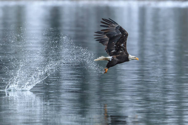 Bald eagle makes splash catching a fish. stock photo