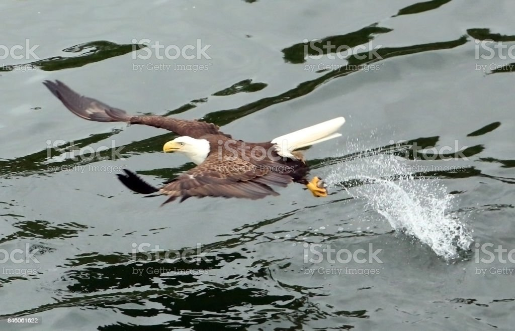 Bald Eagle Mid flight stock photo