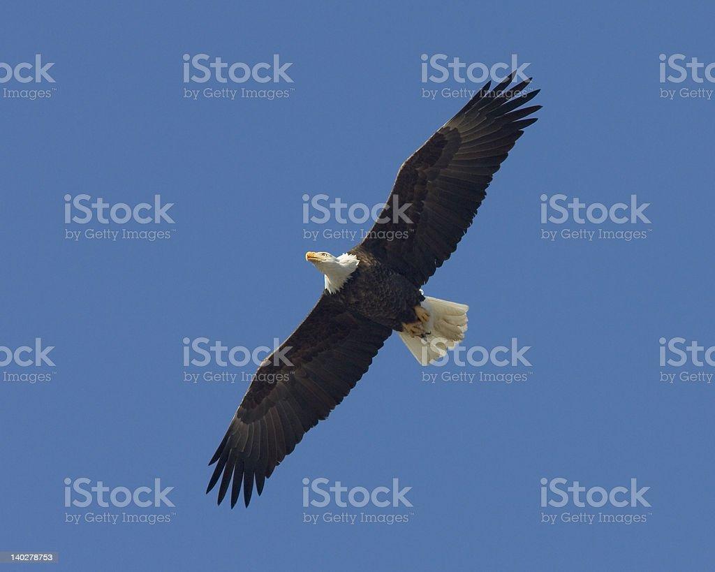 Bald Eagle, Missouri - Royalty-free Animal Body Part Stock Photo