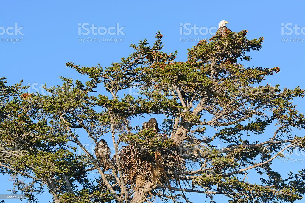 Bald Eagle Nesting Tree with Mother and Two Fledglings stock photo
