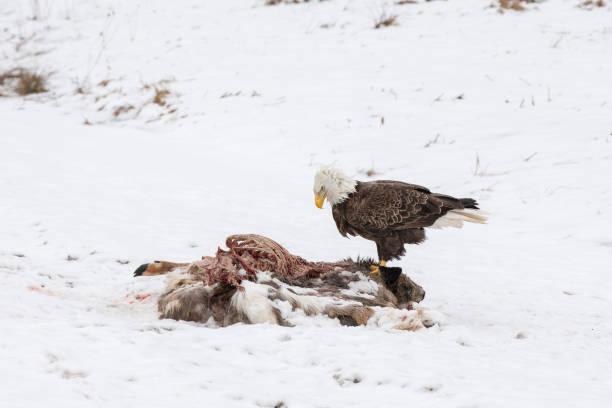 bald eagle op het karkas van een hert in de winter - aas eten stockfoto's en -beelden