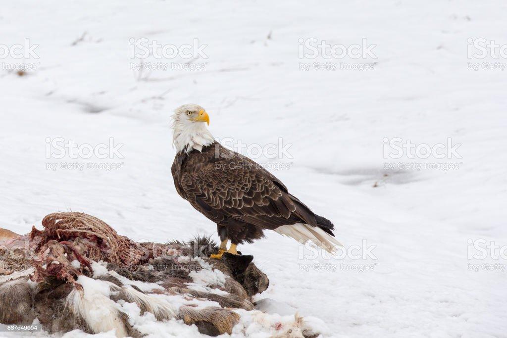 Weißkopfseeadler Auf Einen Hirsch Kadaver Im Winter Stock-Fotografie ...