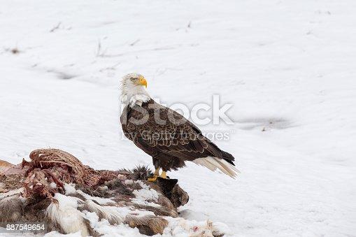 Fotografía de Águila Calva En Un Canal De Ciervos En El Invierno y ...