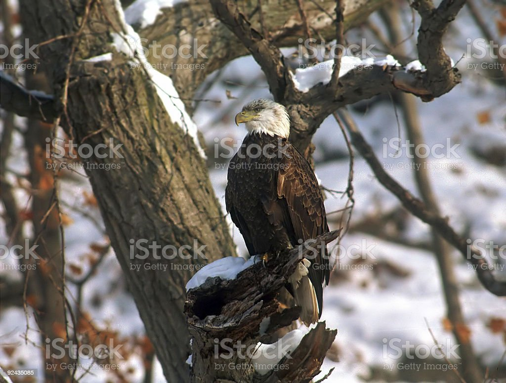 Bald Eagle on a perch stock photo