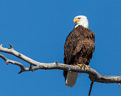 Bald Eagle sitting in a tree Location Eastern Idaho