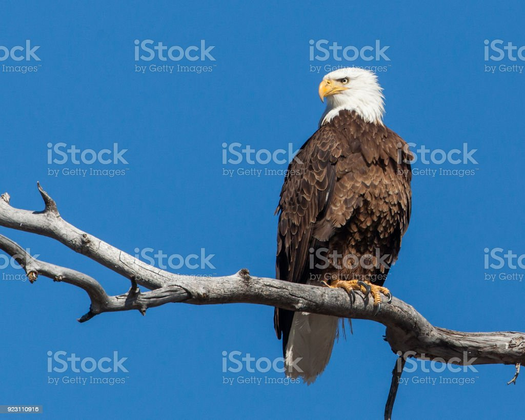 Bald Eagle on a Tree Limb stock photo