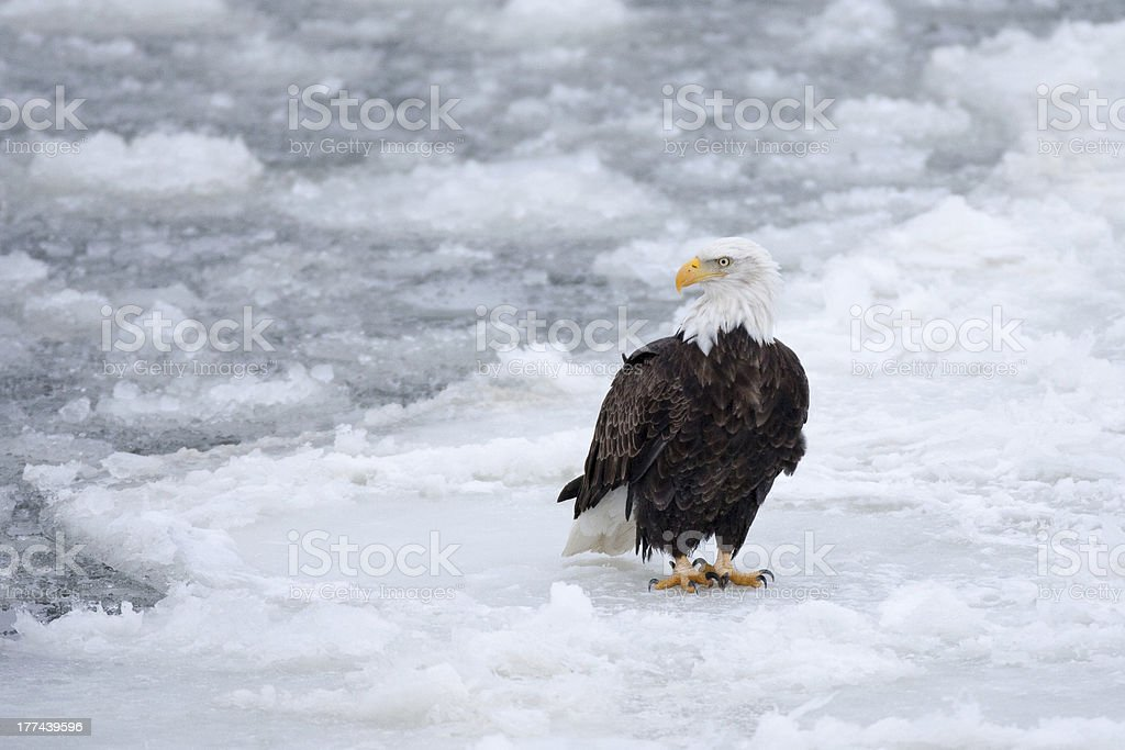 Bald eagle on ice flow in Mississippi River royalty-free stock photo