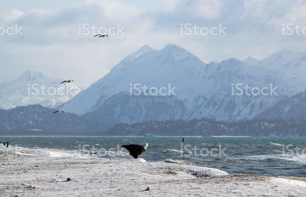 Bald Eagle on Icy Beach stock photo