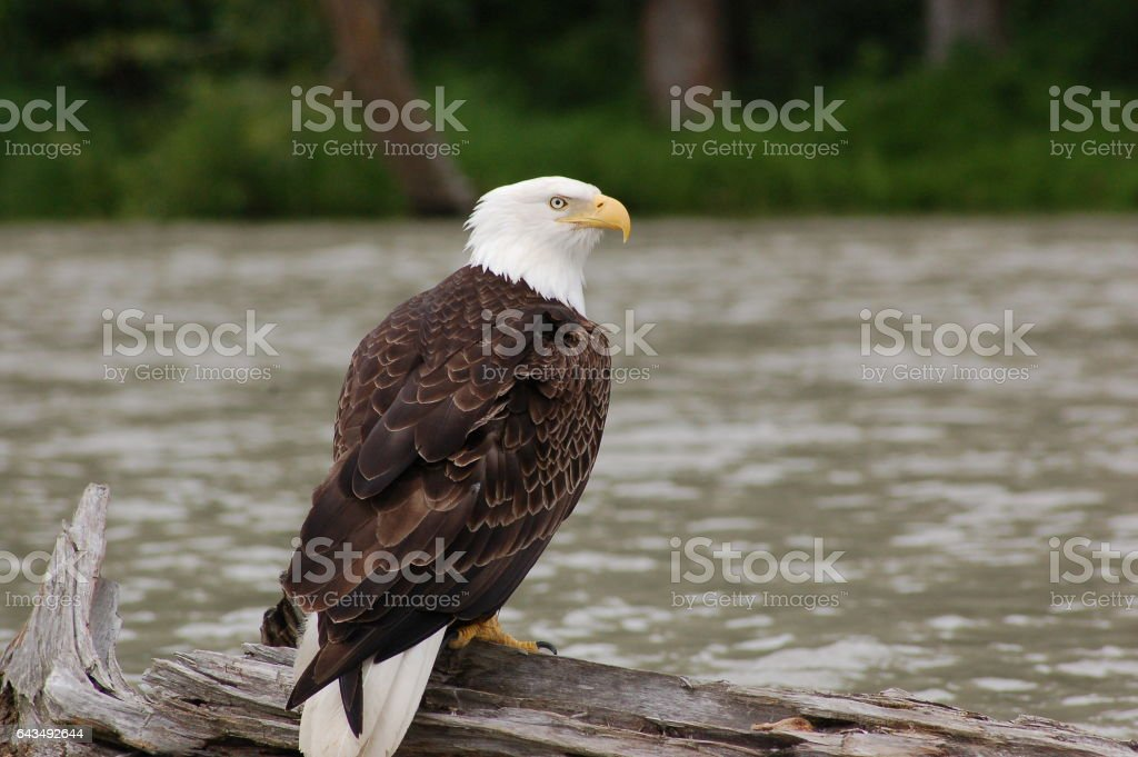 Bald Eagle on log stock photo