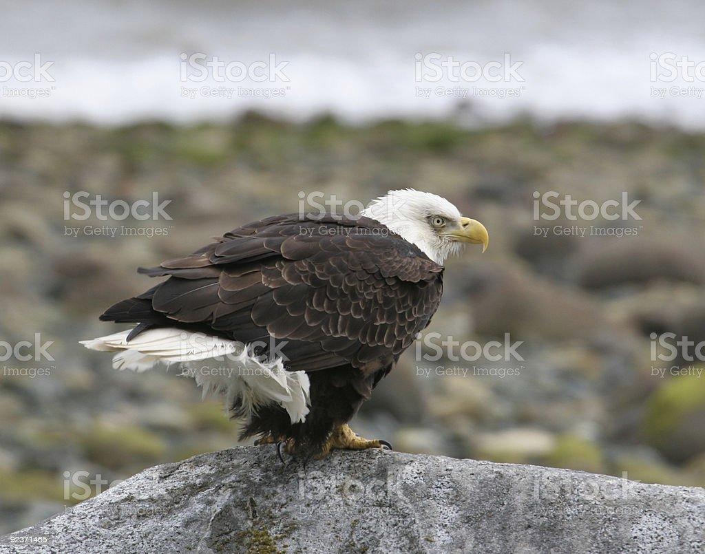 bald eagle on rock royalty-free stock photo