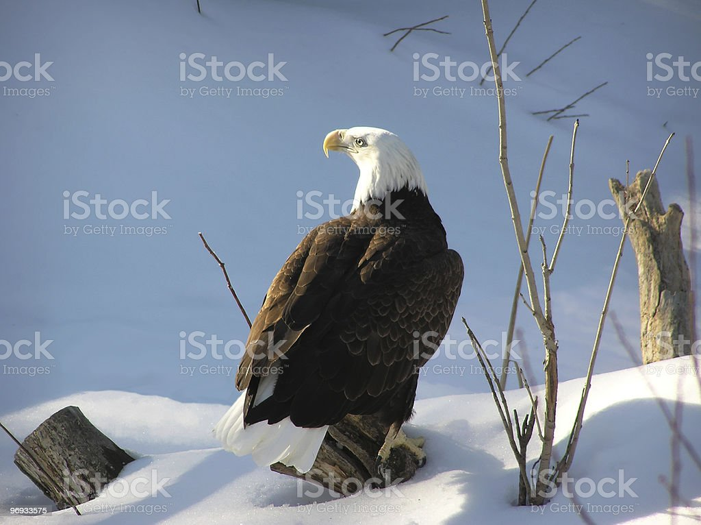 Bald eagle on snow royalty-free stock photo