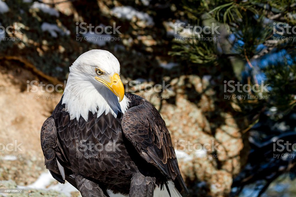 Bald Eagle on Sunny Winter Day stock photo
