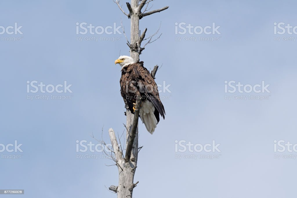 Bald Eagle on the Lookout in a old Tree stock photo