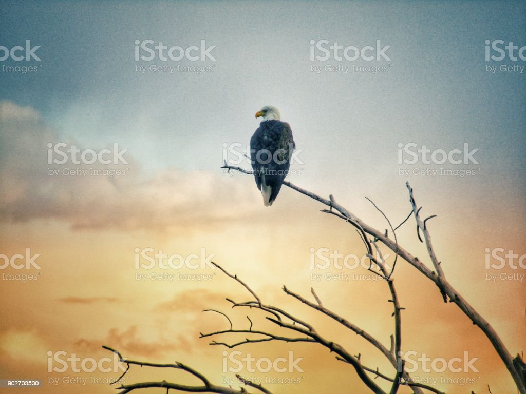 Bald eagle on the lookout stock photo