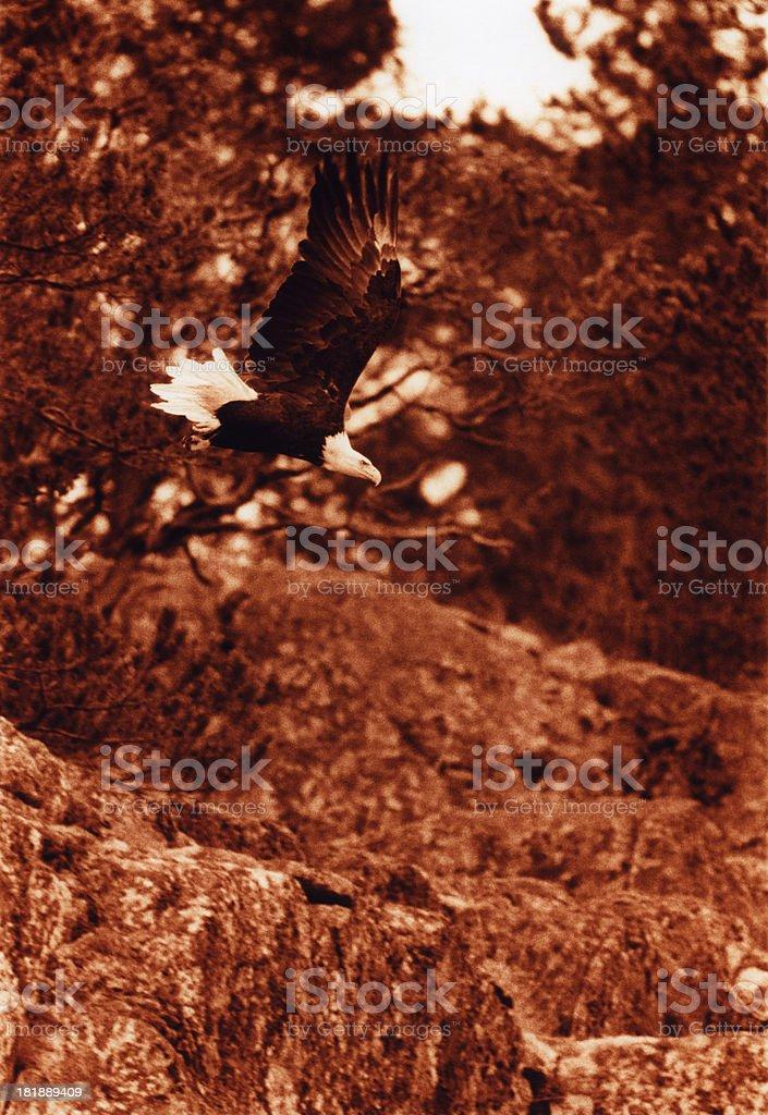 Bald Eagle on Vancouver Island royalty-free stock photo