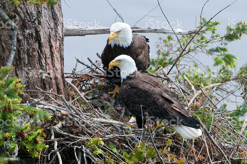 Bald Eagle Pair in the Nest stock photo