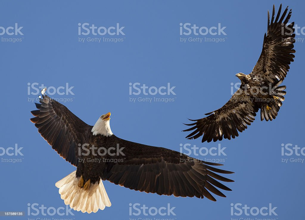 Águila calva madre enseñanza Flying lecciones que aprender adolescentes Bird - foto de stock