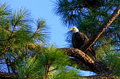 Adult Bald Eagle is perched in Pine Tree limb under a clearf blue sky