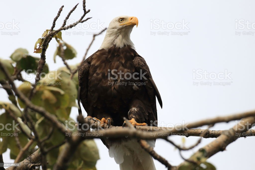 bald eagle perched in tree alaska stock photo more pictures of
