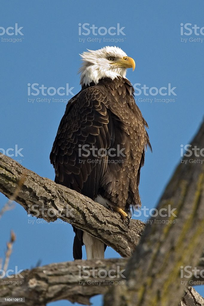 Bald Eagle perched on a limb stock photo