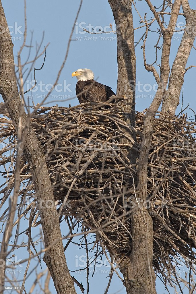 Bald Eagle perched on nest royalty-free stock photo