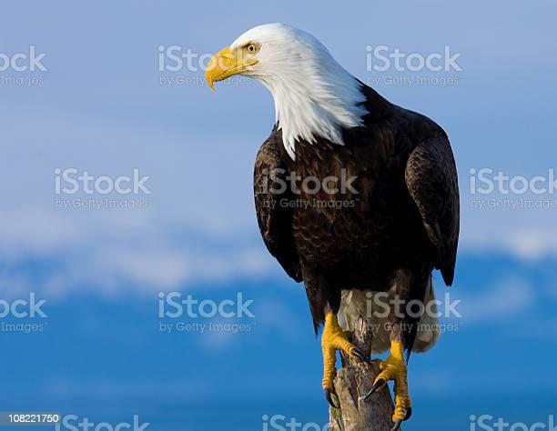 Bald eagle perched on stump alaska picture id108221750?b=1&k=6&m=108221750&s=612x612&h=nosmsqau66ouy4nqdyhad42cl7koxvcek5dwkl1gcyq=