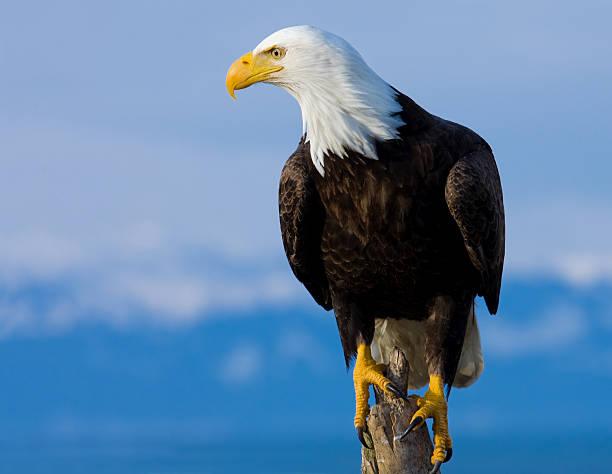 bald eagle perched on stump - alaska - neerstrijken stockfoto's en -beelden