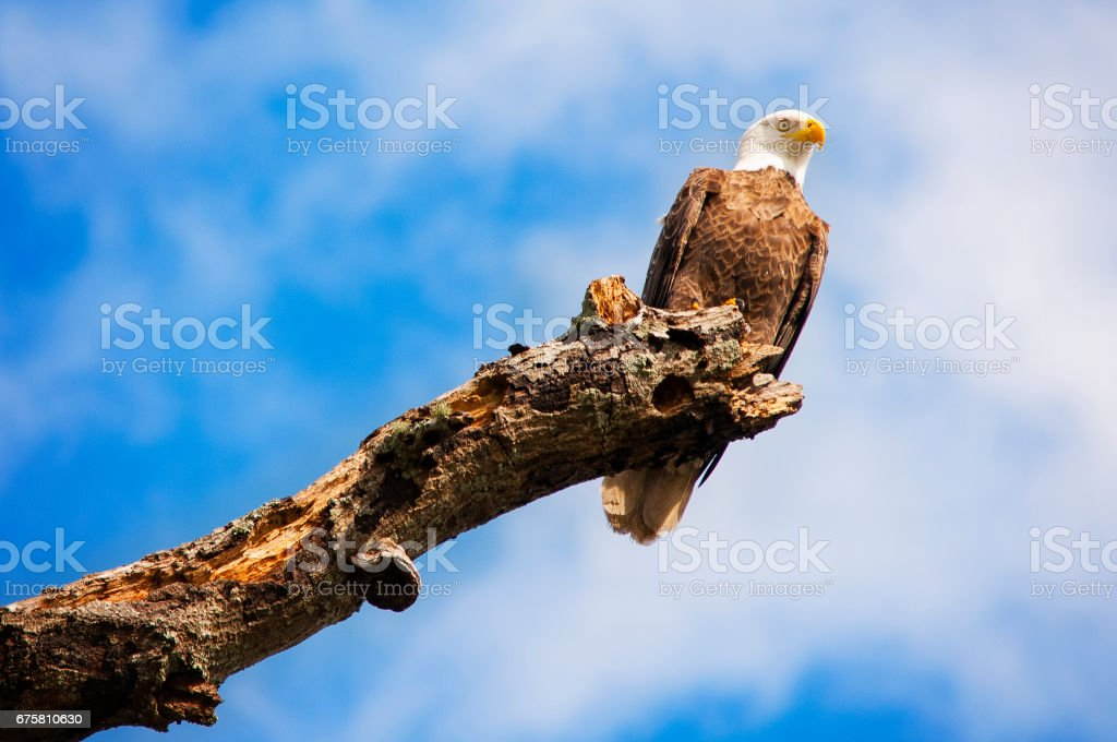 Bald Eagle Perched on Tree stock photo