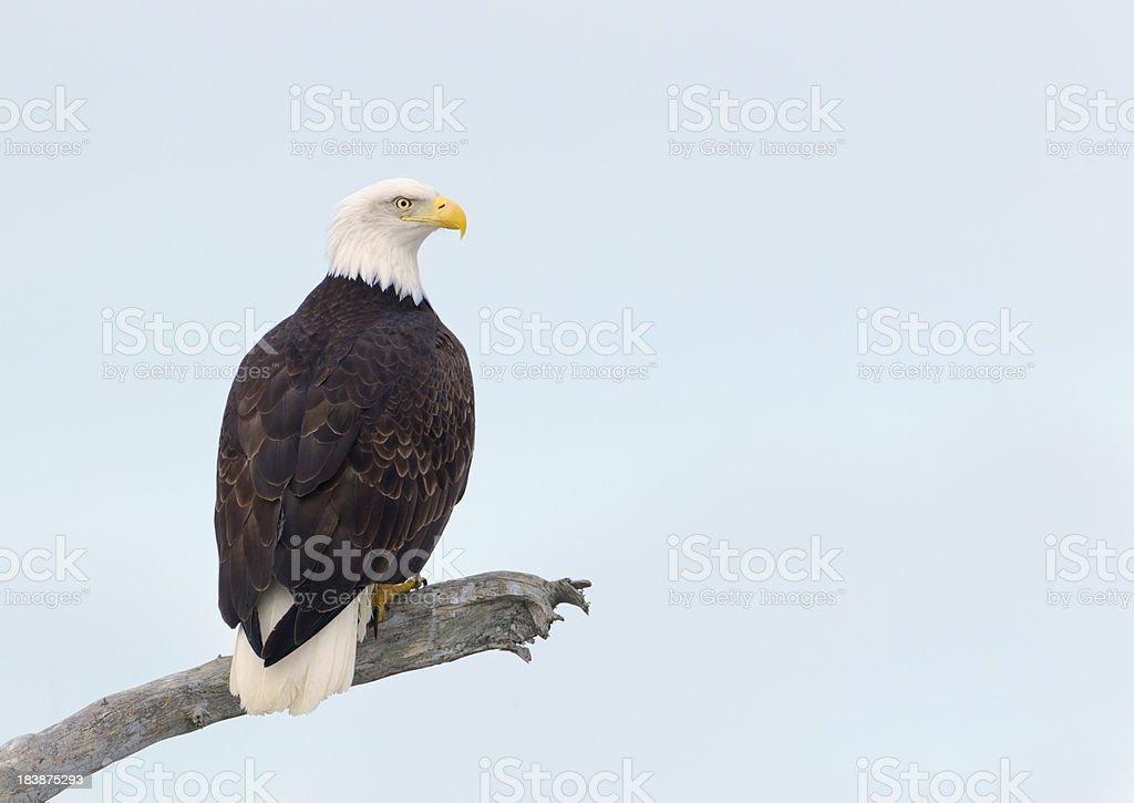 Bald Eagle Perched stock photo