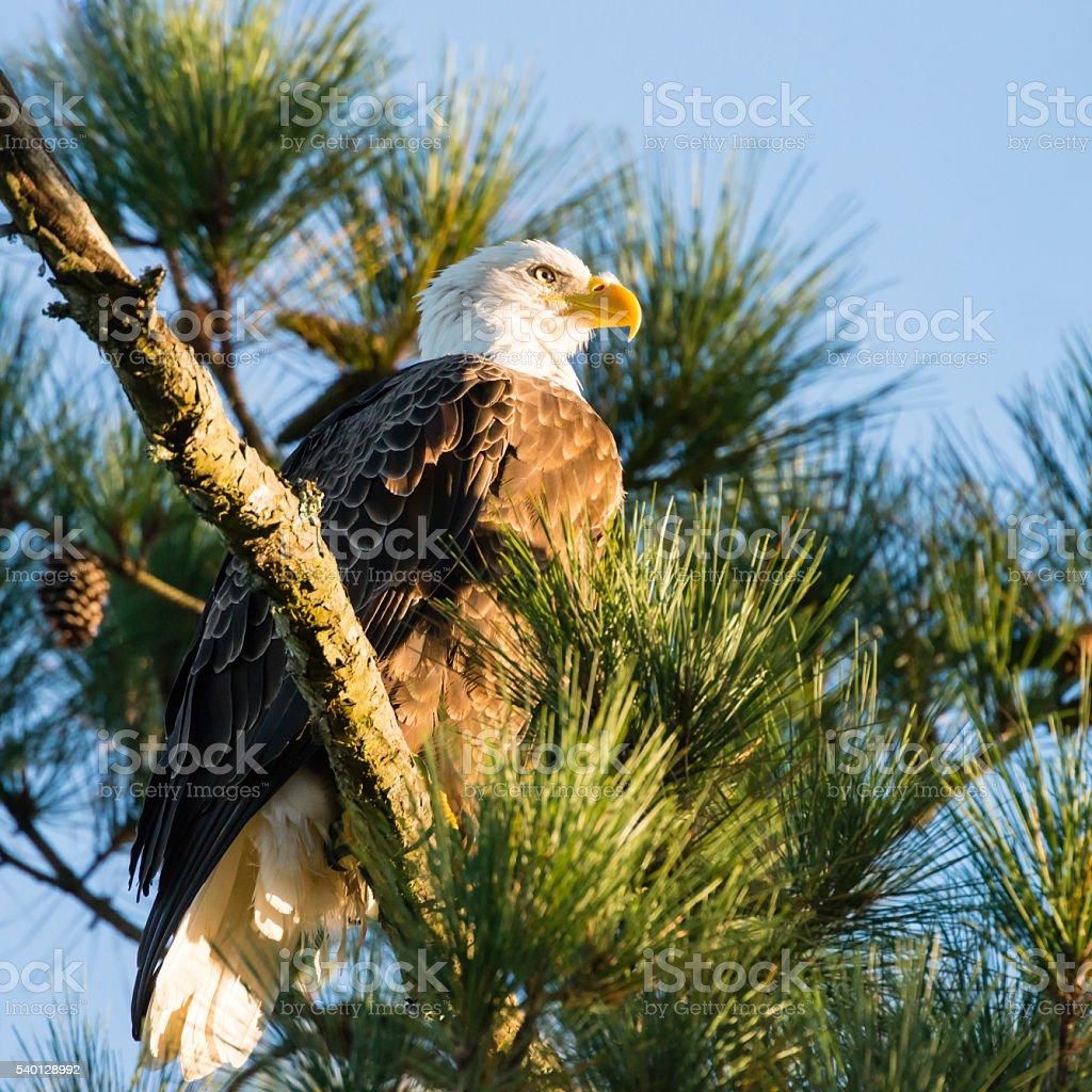 Bald Eagle perching on pine tree, Haliaeetus leucocephalus stock photo
