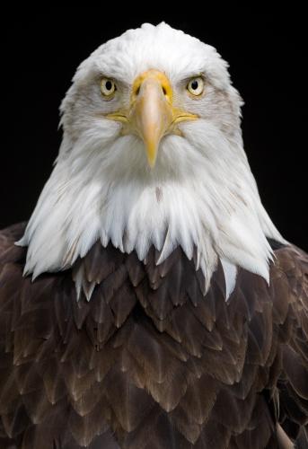 Bald Eagle ( Haliaeetus leucocephalus ) Flying