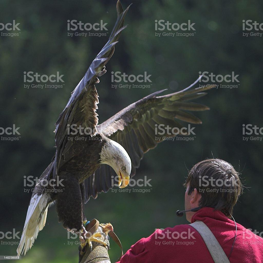 Bald Eagle #7 royalty-free stock photo