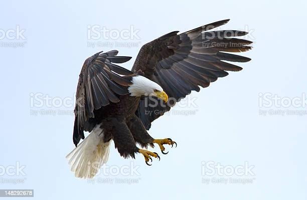 Bald eagle picture id148292678?b=1&k=6&m=148292678&s=612x612&h=qrhcmzchq17pri pxrfjcd0q6rhqngkg9mzi8y0krgw=