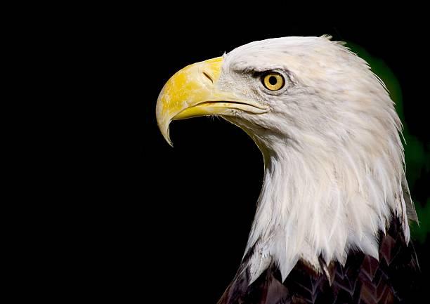 Weißkopfseeadler Eagle – Foto