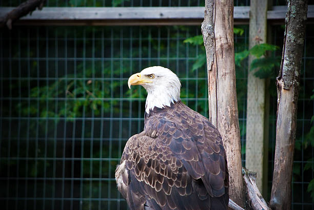 bald eagle (haliaeetus leucocephalus) - animals in captivity stock pictures, royalty-free photos & images