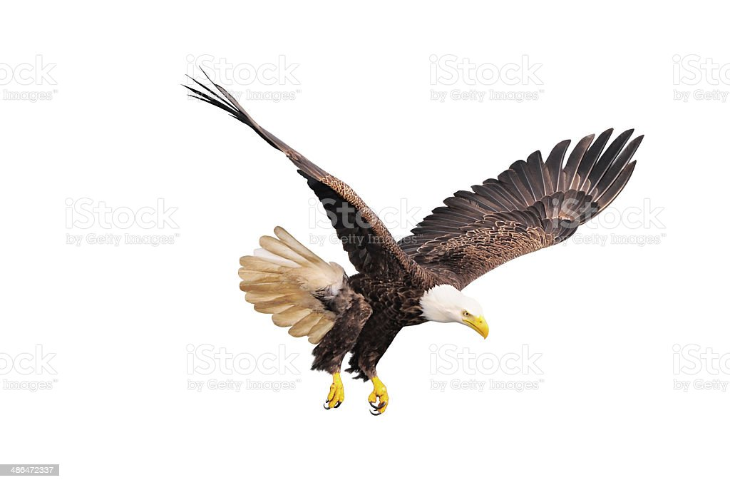 Bald eagle. royalty-free stock photo