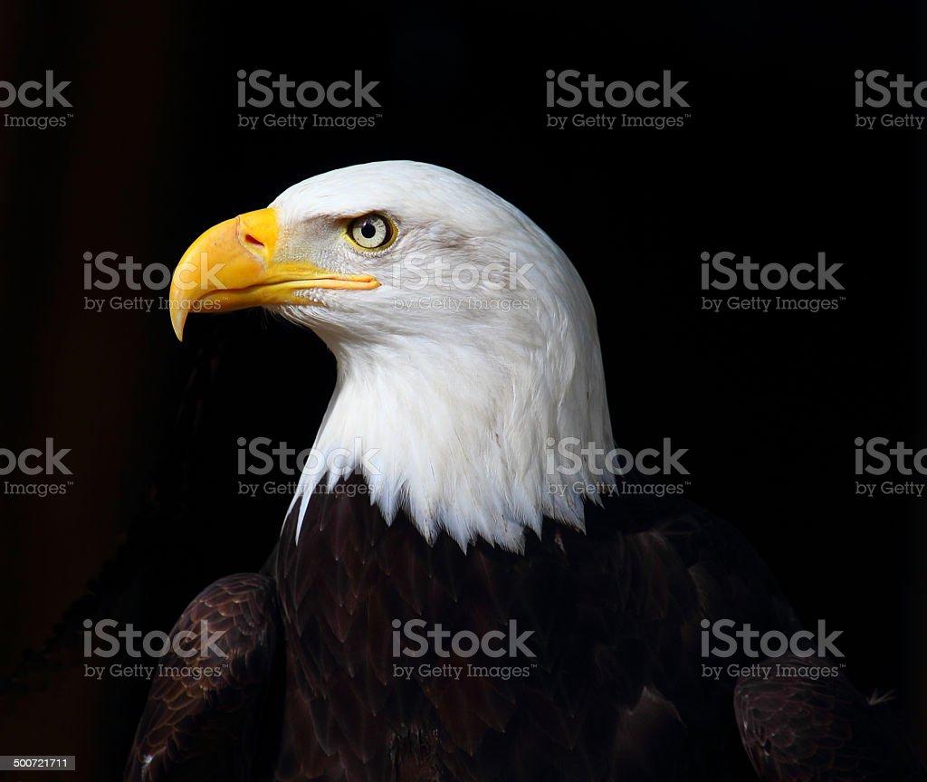Bald Eagle foto