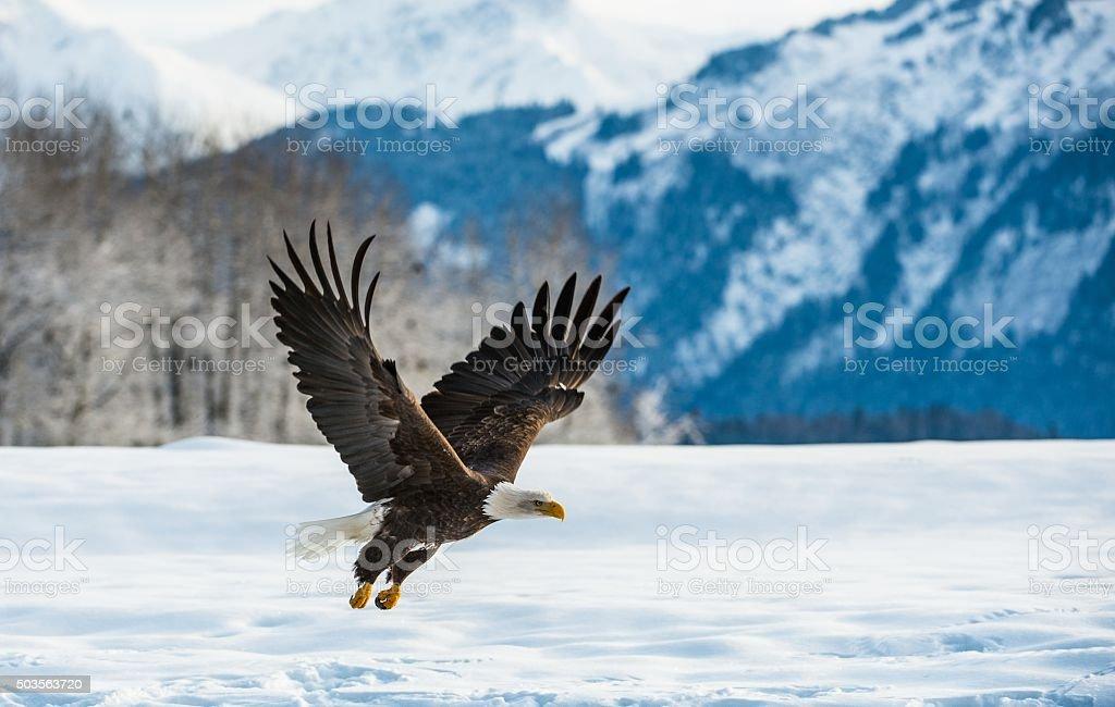 Bald Eagle ( Haliaeetus leucocephalus ) stock photo