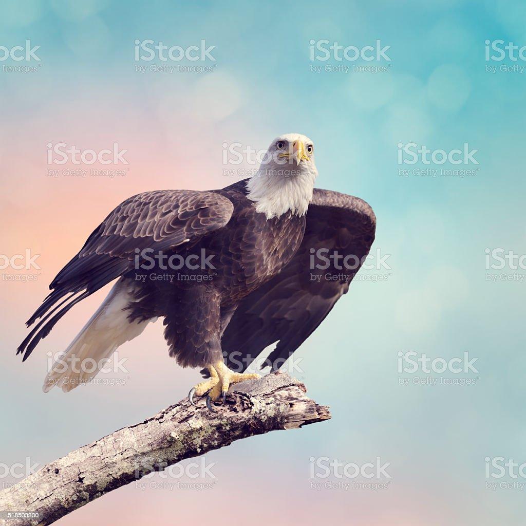 Bald Eagle (Haliaeetus leucocephalus) foto