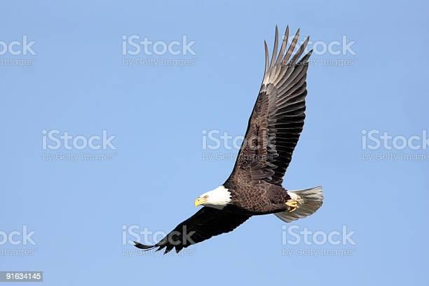 Bald eagle picture id91634145?b=1&k=6&m=91634145&s=612x612&h=0g4mx1 h2z wul8ertwqya fegdsqdygkrcc thzbvi=
